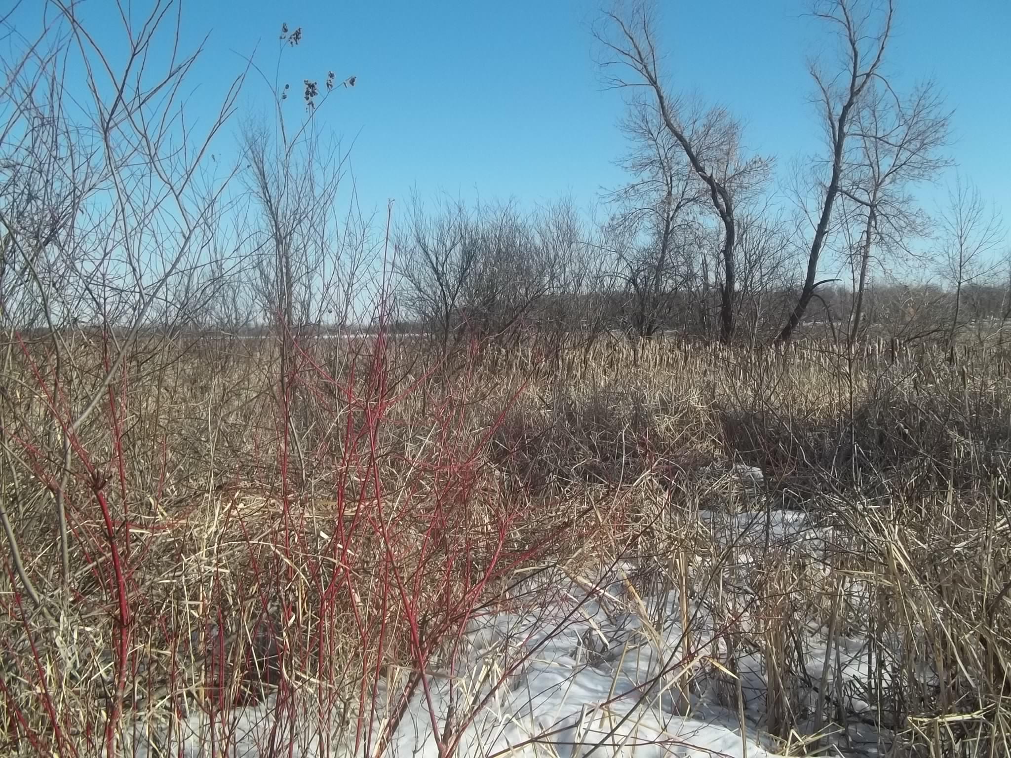The frozen cattail field