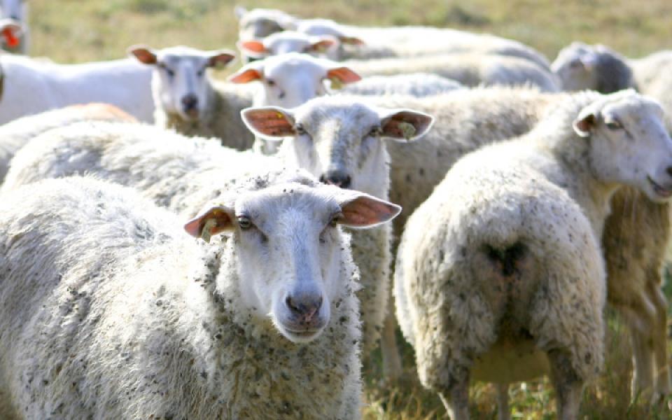 sheep-e1446395048306